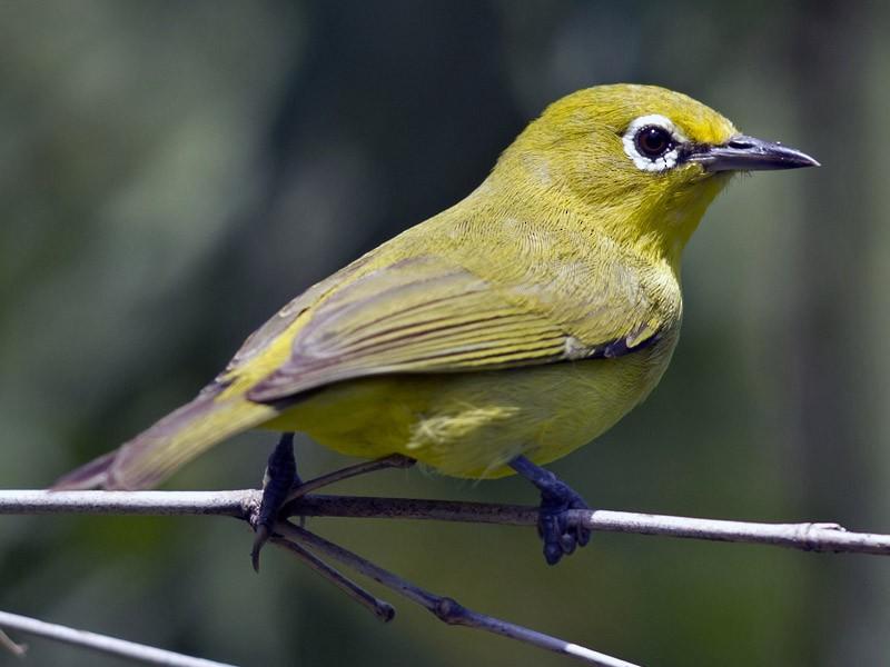 Australian Yellow White-eye - Mat Gilfedder