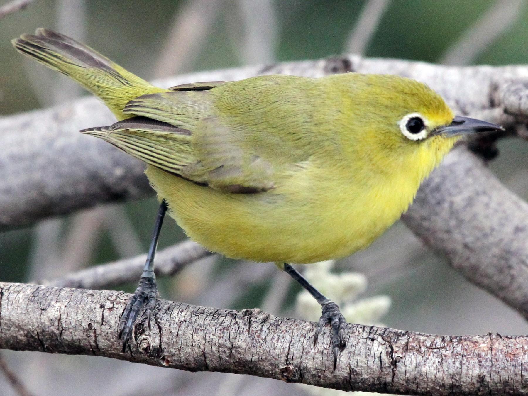 Australian Yellow White-eye - Colin Trainor
