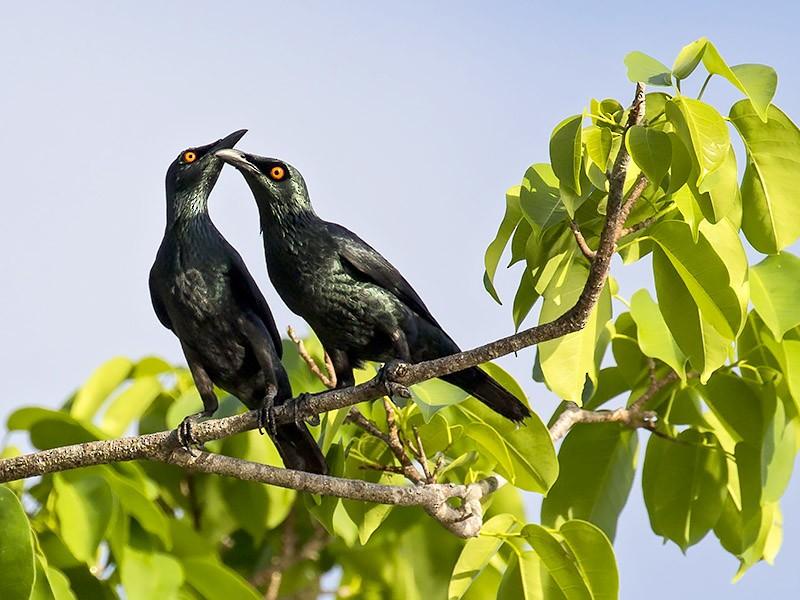 Singing Starling - Yann Kolbeinsson