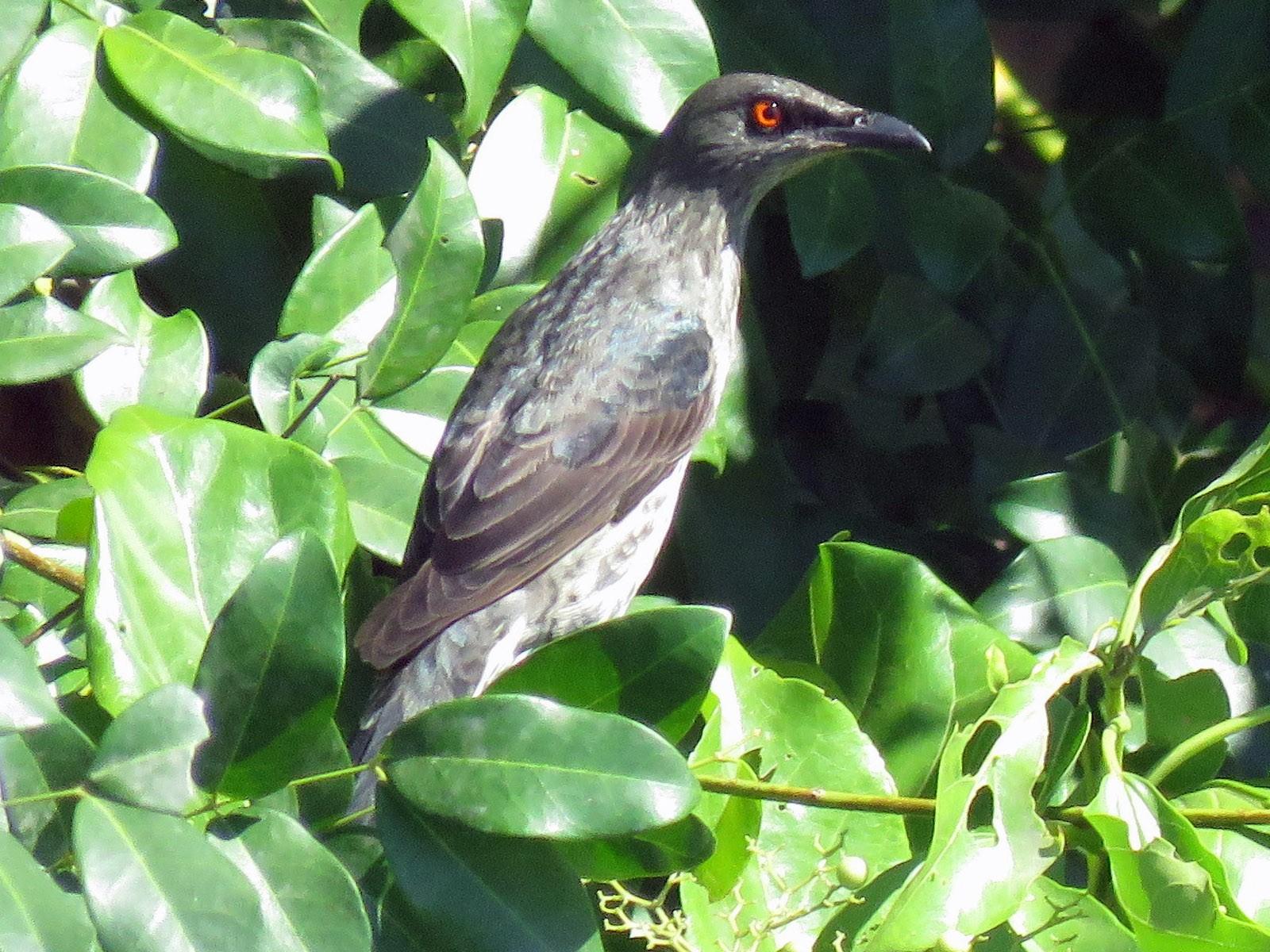 Singing Starling - Simon RB Thompson