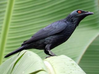 - Singing Starling