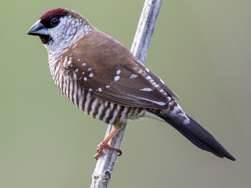Plum-headed Finch - Laurie Ross | Tracks Birding & Photography Tours