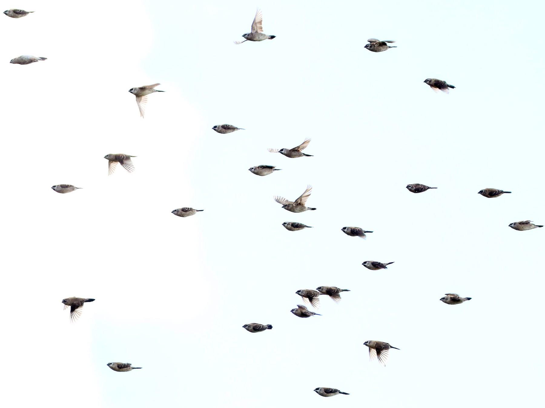 Plum-headed Finch - Ged Tranter