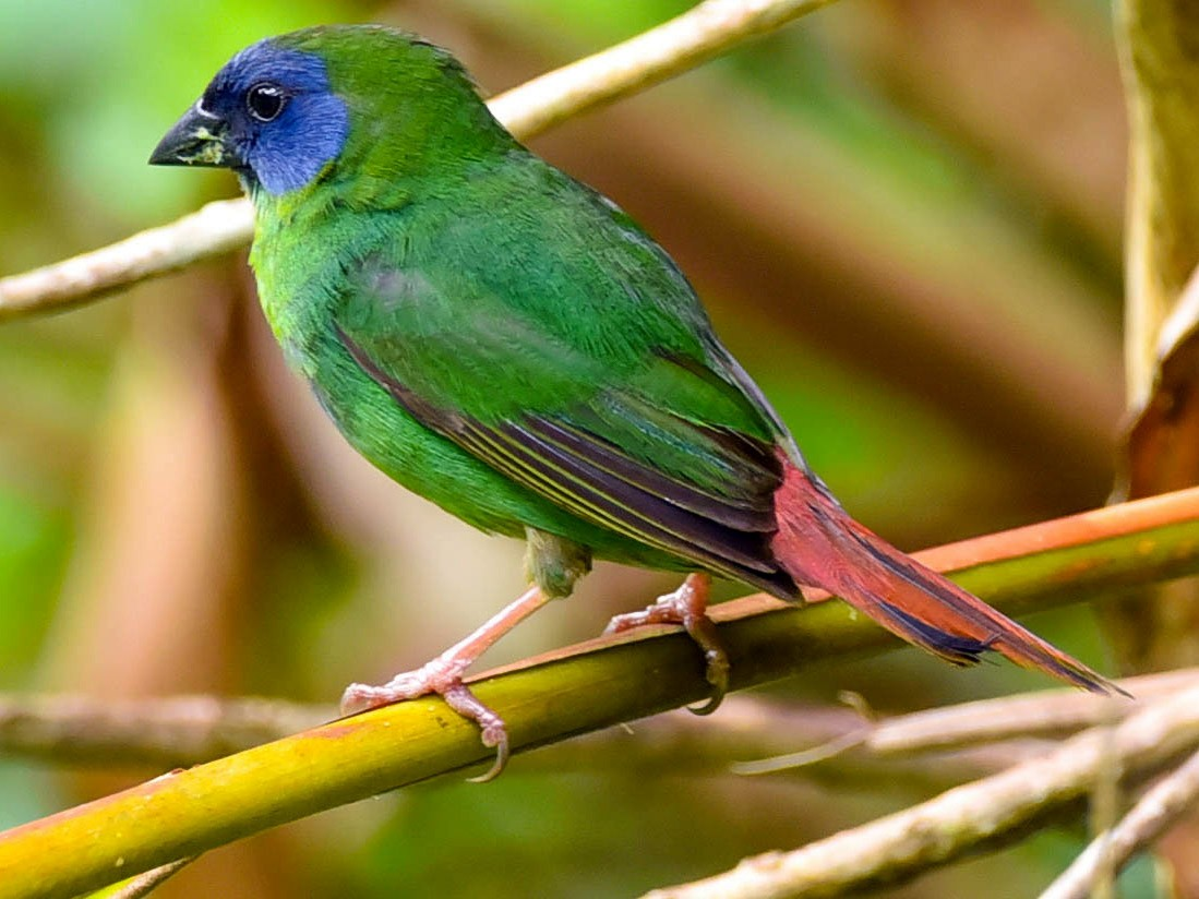 Blue-faced Parrotfinch - Greg McKay