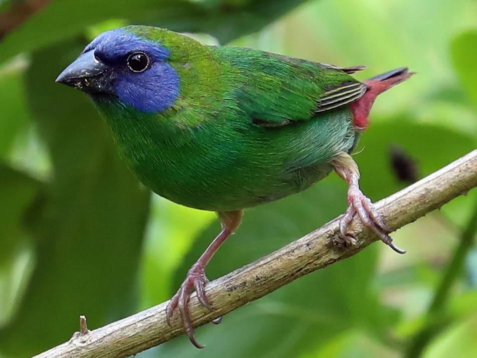 Blue-faced Parrotfinch - Peter Kyne