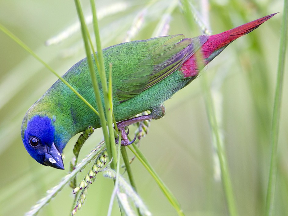 Blue-faced Parrotfinch - Laurie Ross | Tracks Birding & Photography Tours