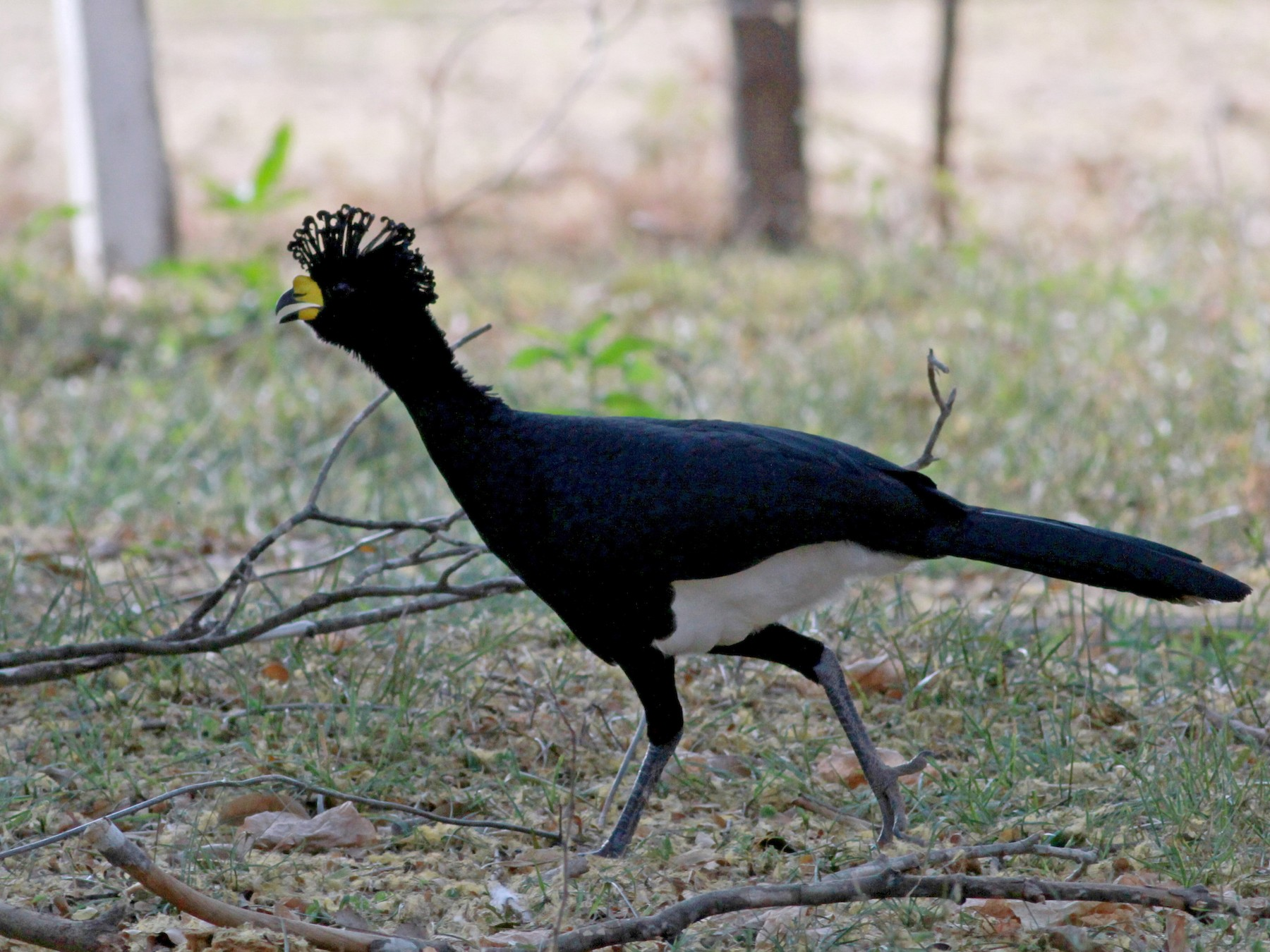 Yellow-knobbed Curassow - Jay McGowan