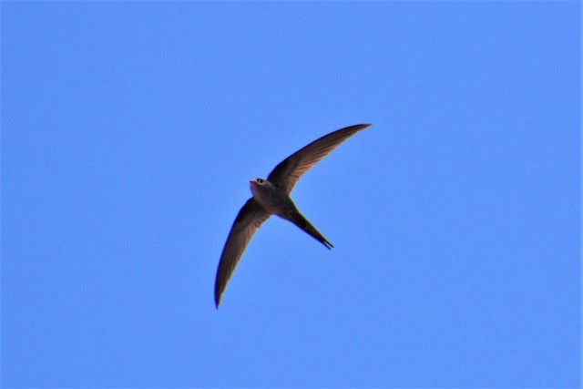 African Palm-Swift