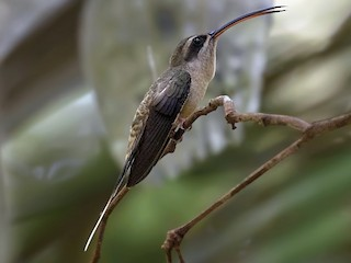 - Long-tailed Hermit