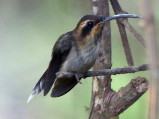 - Streak-throated Hermit