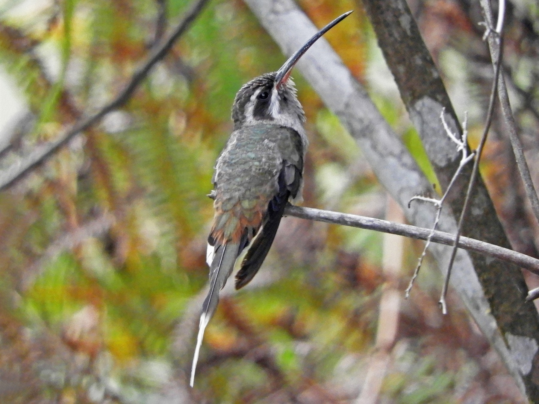 Sooty-capped Hermit - Ray Wershler