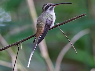 - Sooty-capped Hermit