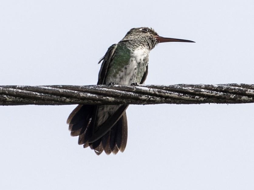 Green-tailed Goldenthroat - Bob Lockett