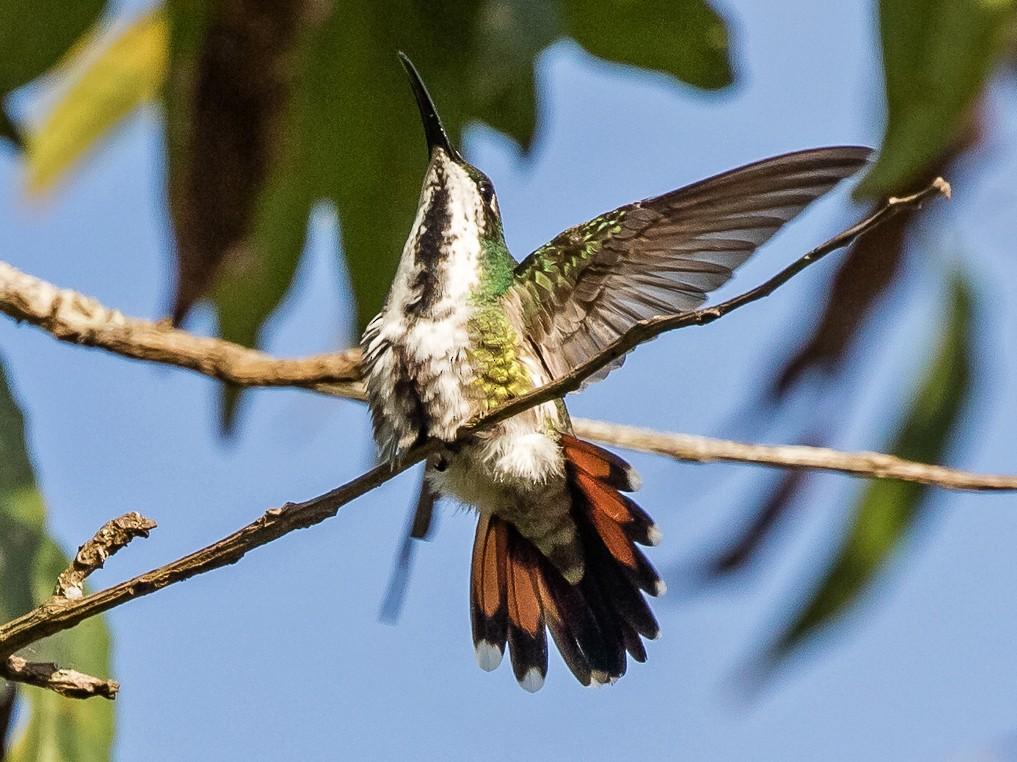Green-throated Mango - F Fernandes