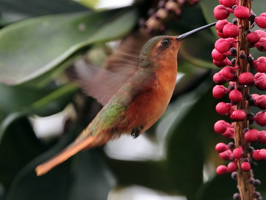 Rufous-breasted Sabrewing - Lorenzo Calcaño