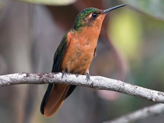 - Rufous-breasted Sabrewing