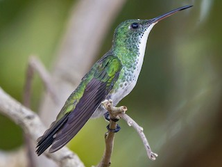 - Plain-bellied Emerald