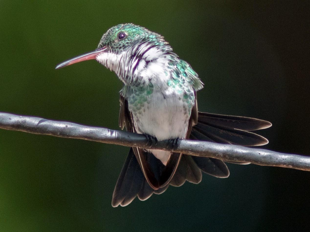 Plain-bellied Emerald - Marcelo Feliti