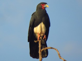 - Red-throated Caracara