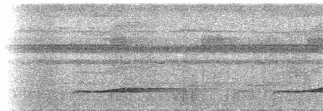 Pacific Koel