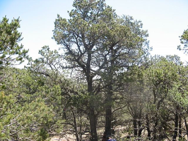 Pinyon Jay nesting and foraging habitat in persistent piñon-juniper woodlands, southern New Mexico.