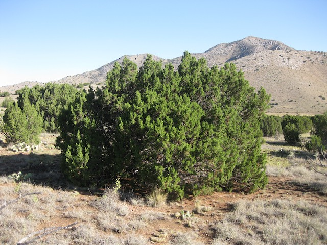 Pinyon Jay nesting and foraging habitat in piñon-juniper savanna, central New Mexico.