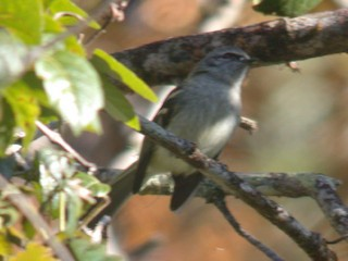 - Black-fronted Tyrannulet