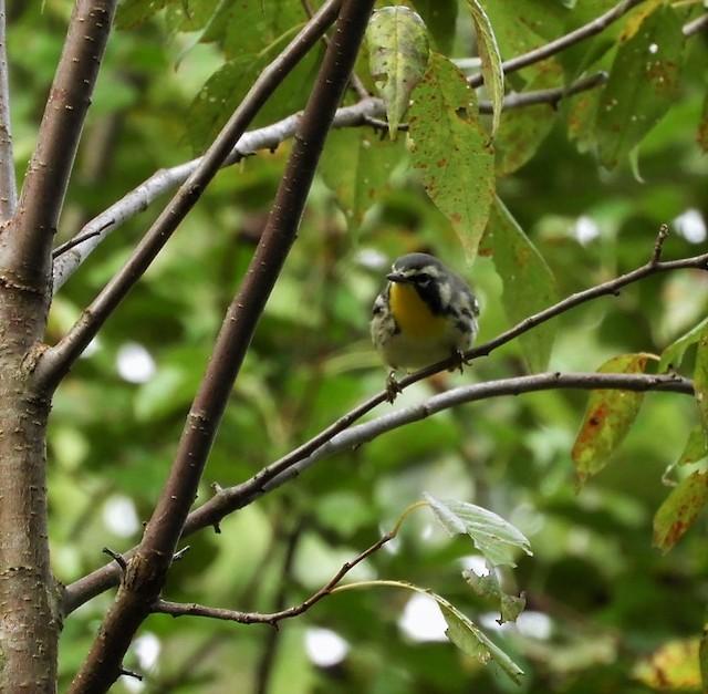 ©Paul McKenzie - Yellow-throated Warbler