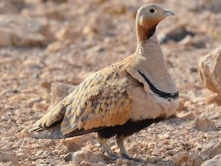 - Black-bellied Sandgrouse