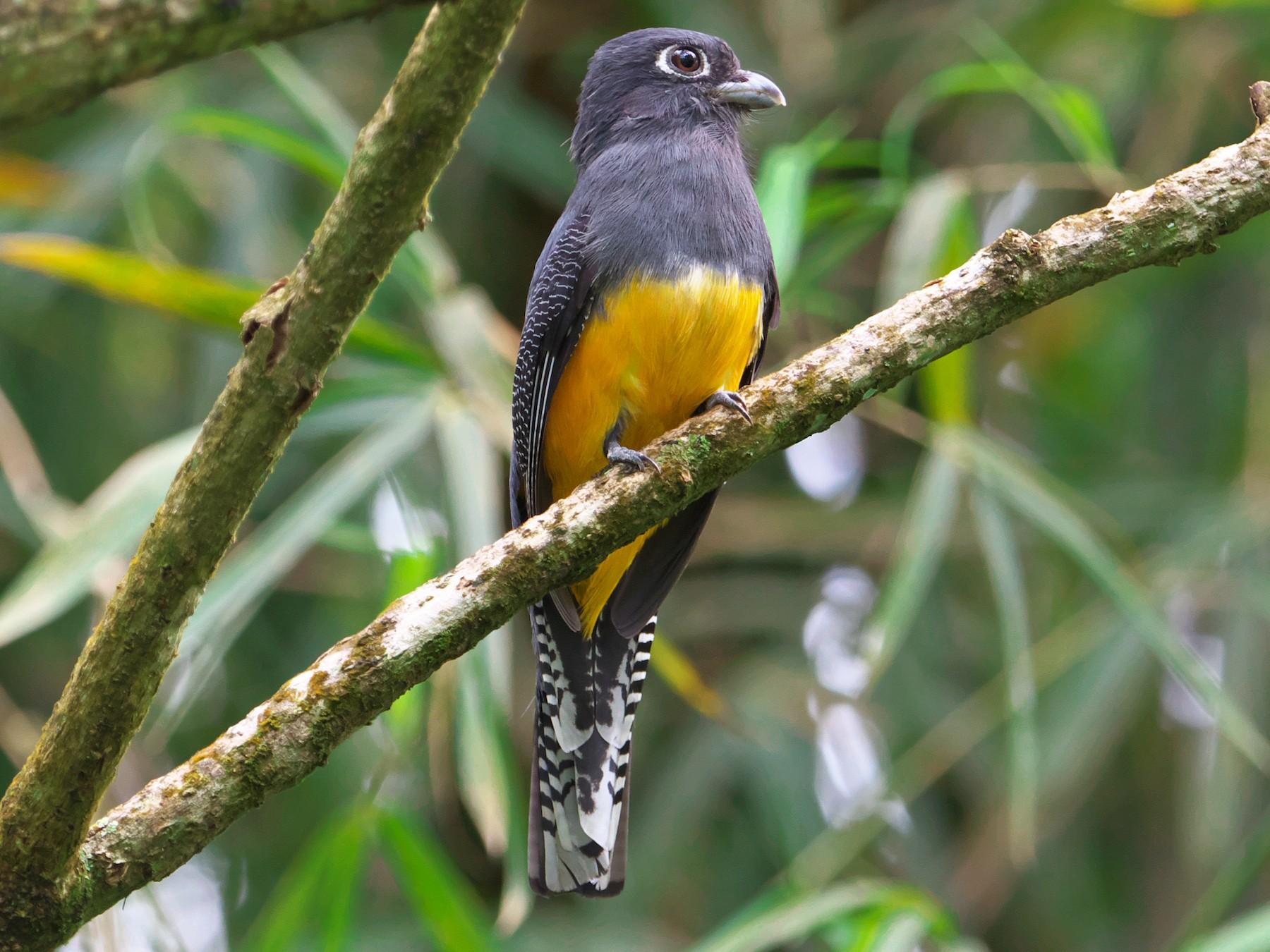 Guianan Trogon - Paul Tavares