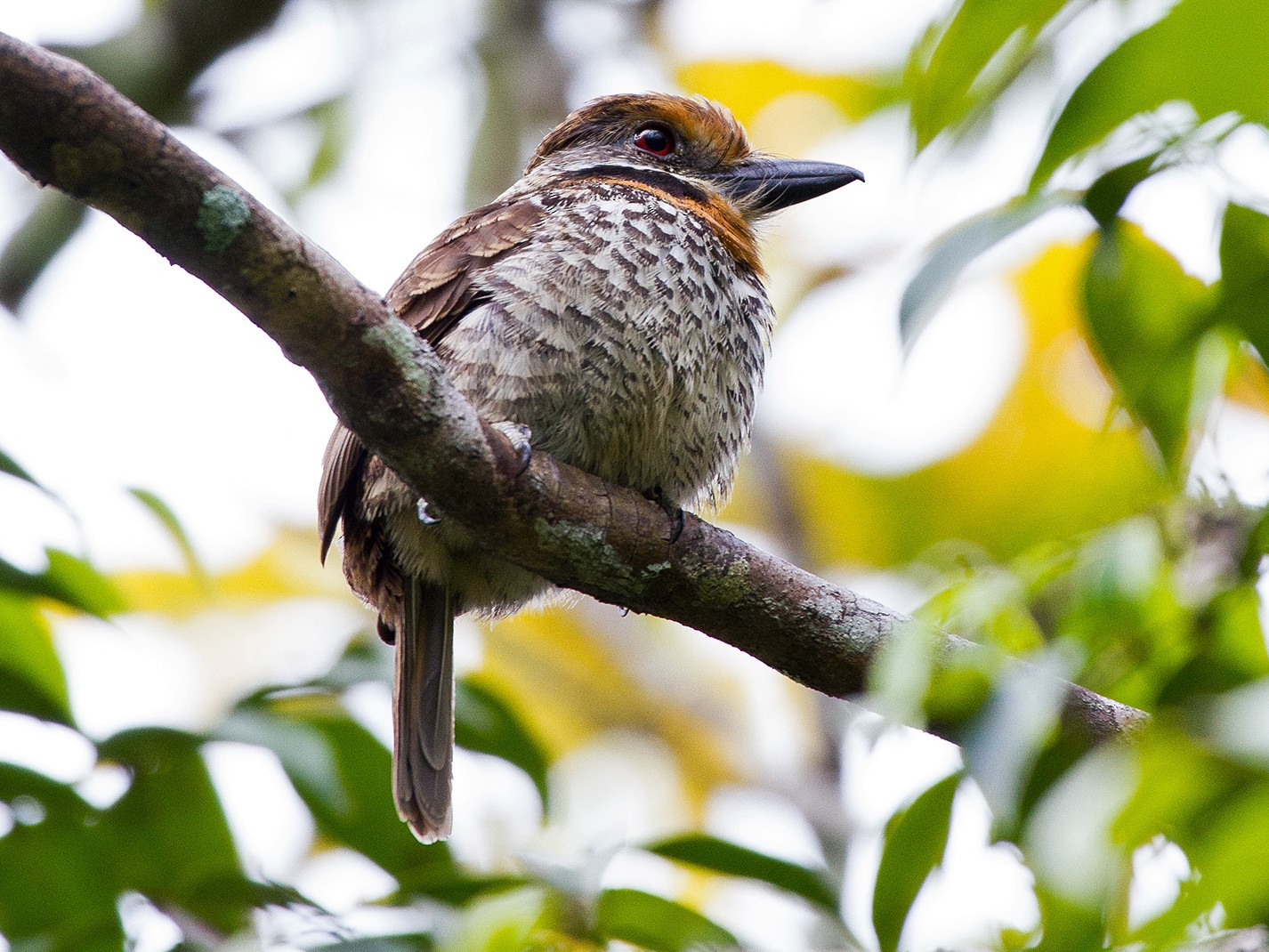 Spotted Puffbird - Leon Moore