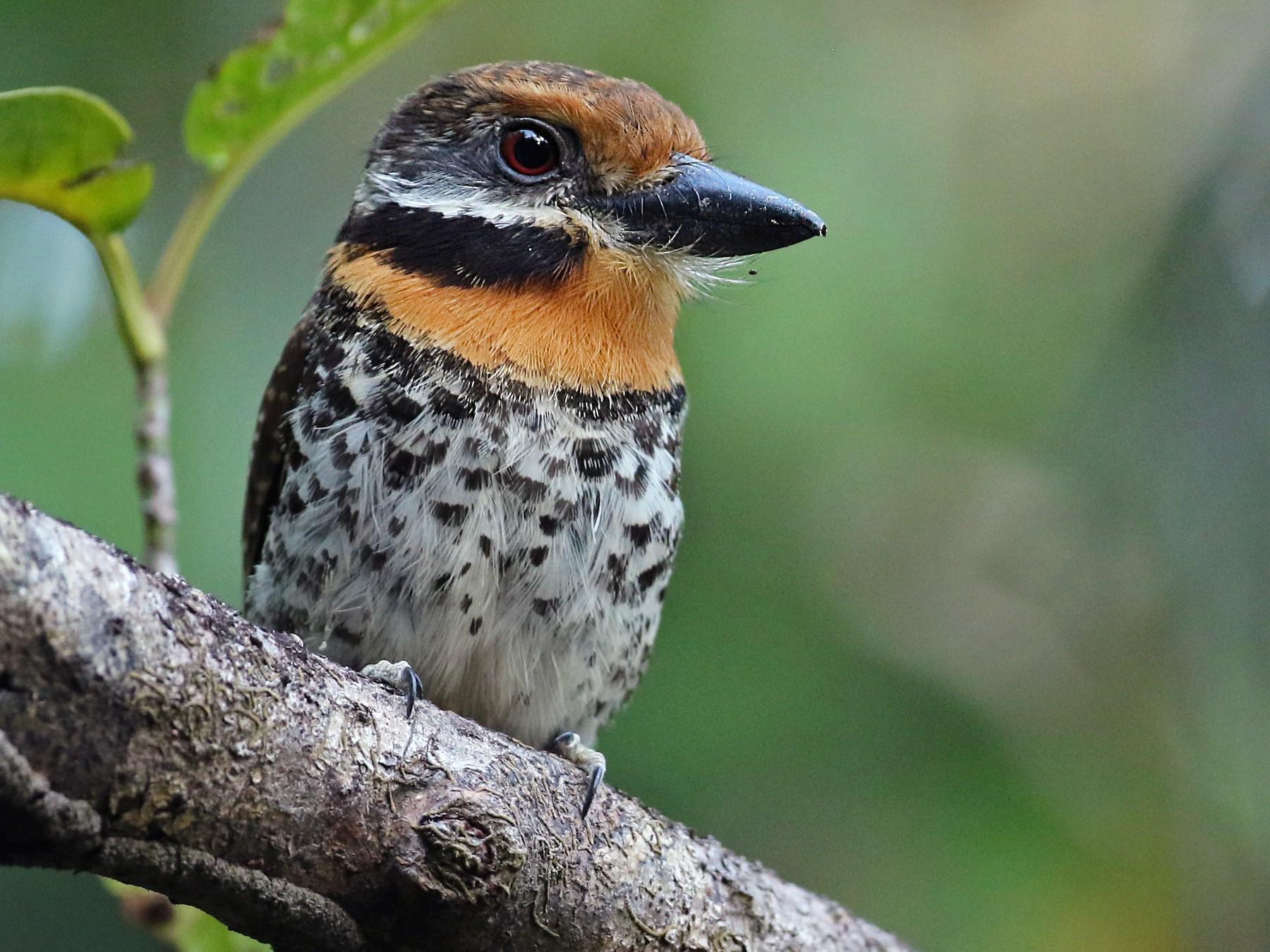 Spotted Puffbird - Luke Seitz