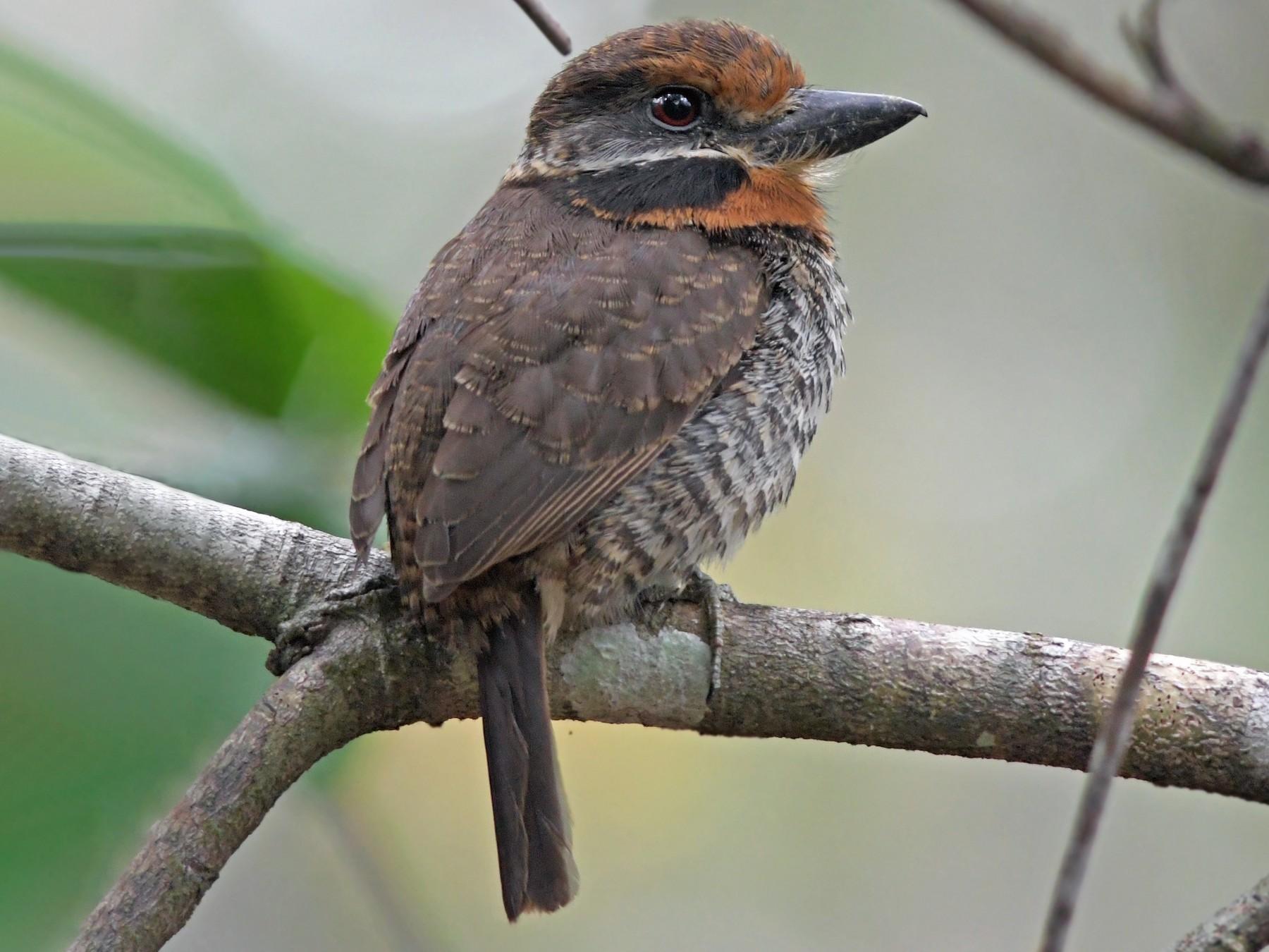 Spotted Puffbird - Joshua Vandermeulen