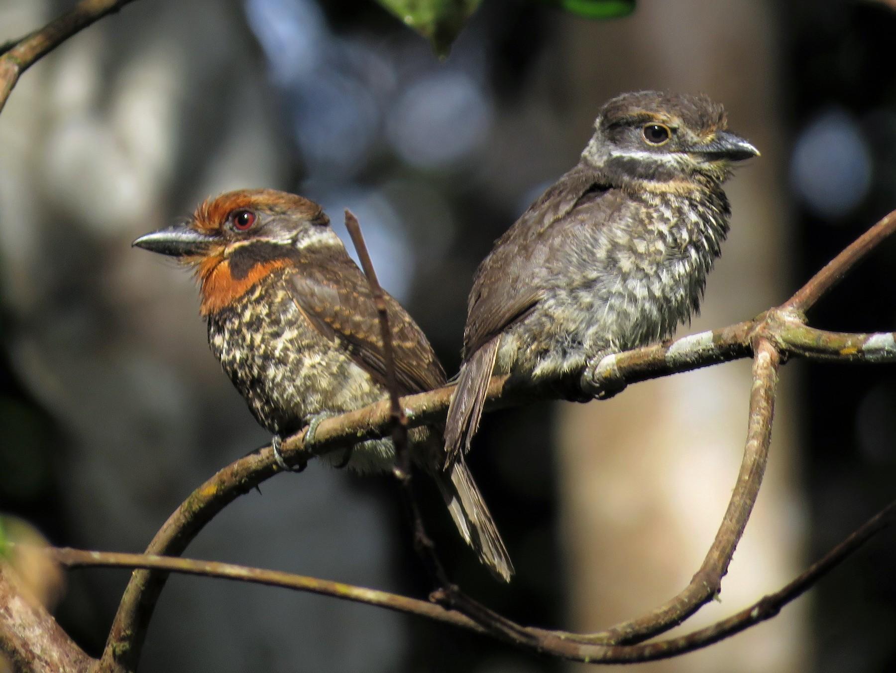Spotted Puffbird - Hugo Foxonet