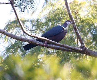 Metallic Pigeon, ML175913651