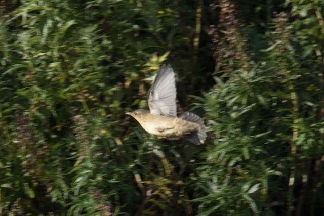 Middendorff's Grasshopper-Warbler