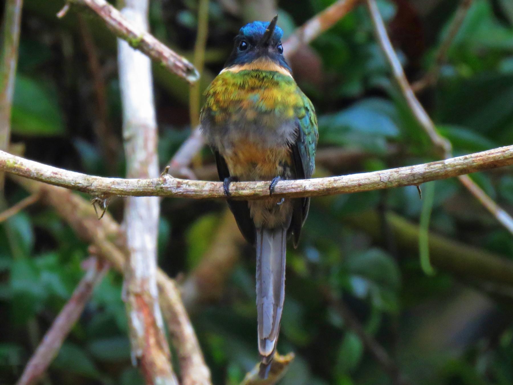 Bronzy Jacamar - Oswaldo Cortes (Bogota Birding) https://bogotabirding.com/