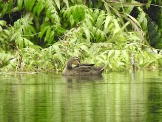 Pacific Black Duck, ML176366891