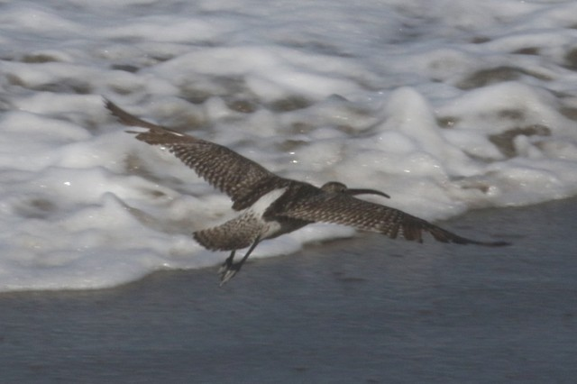 Whimbrel (White-rumped)