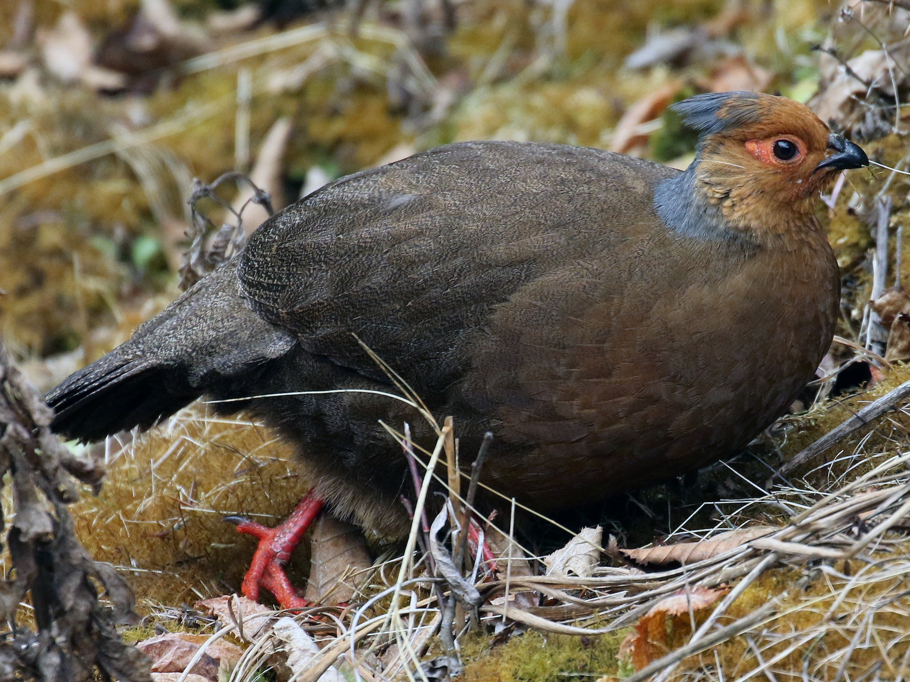 Blood Pheasant - Frank Thierfelder