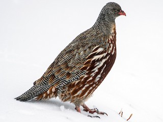 - Snow Partridge