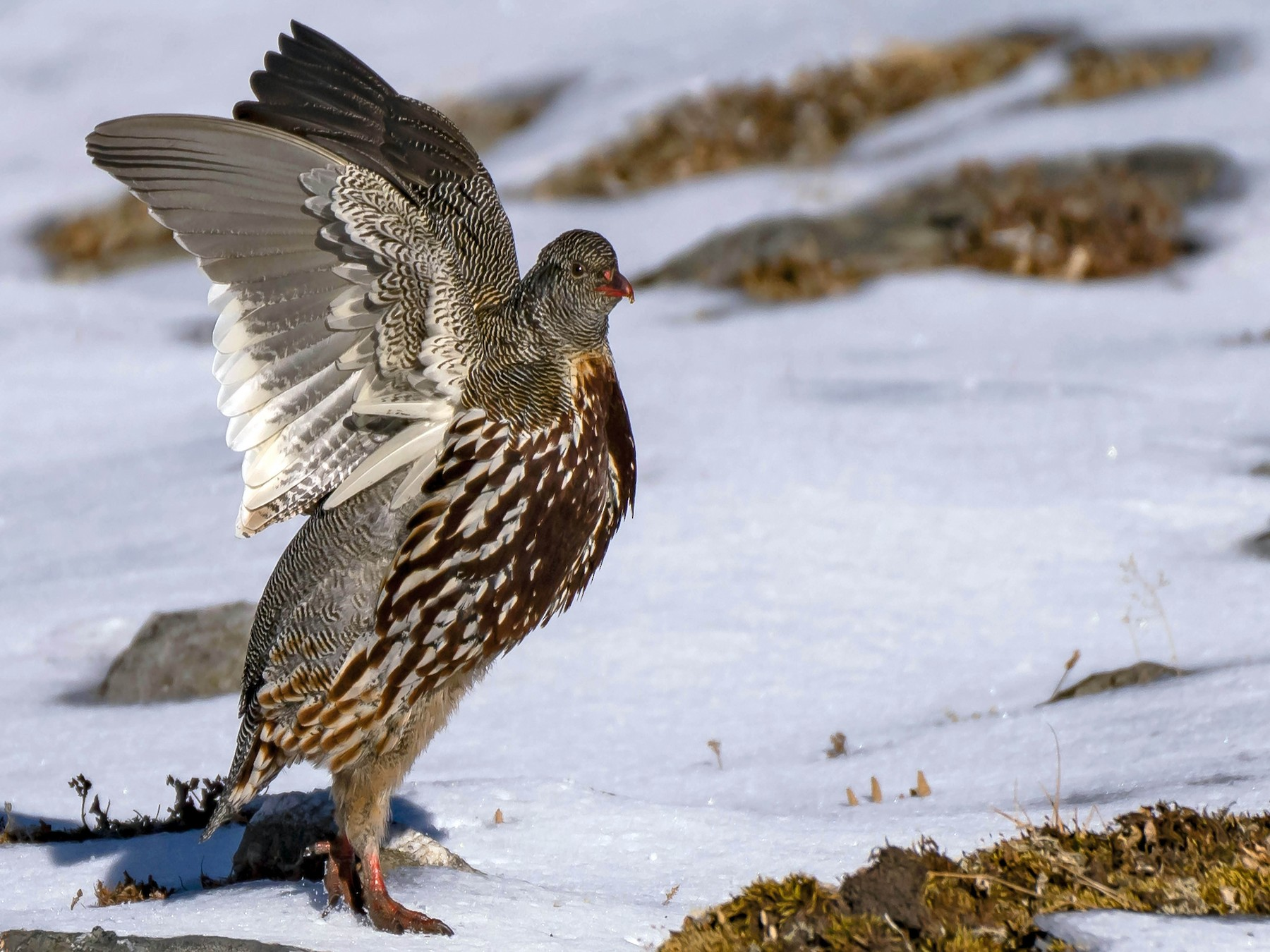 Snow Partridge - Mahesh Kulkarni