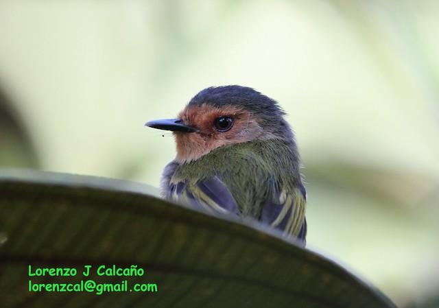 Ruddy Tody-Flycatcher