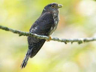 - Hodgson's Hawk-Cuckoo