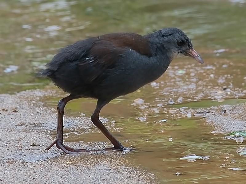 Black-tailed Crake - Sandip Das