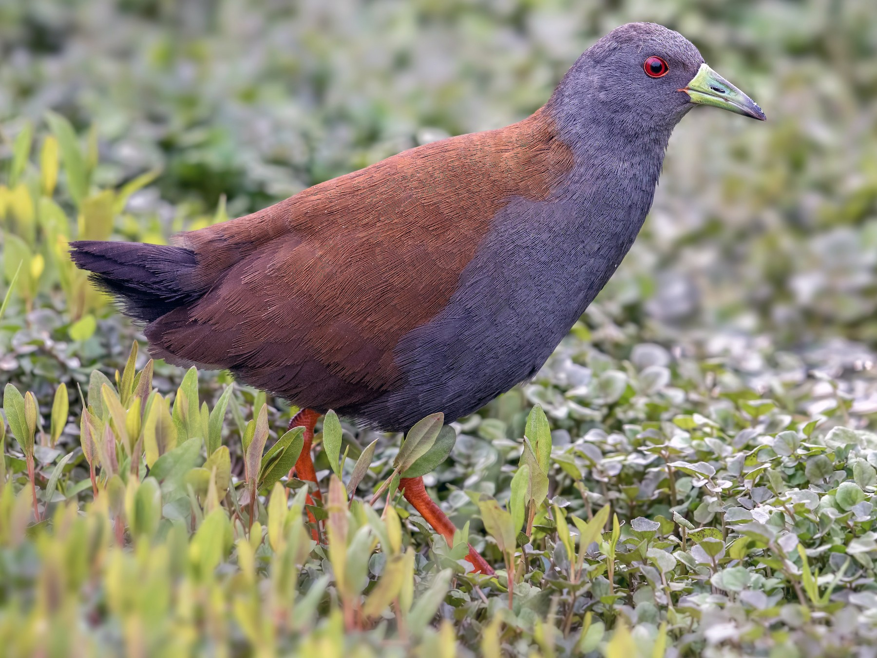 Black-tailed Crake - Abhishek Das