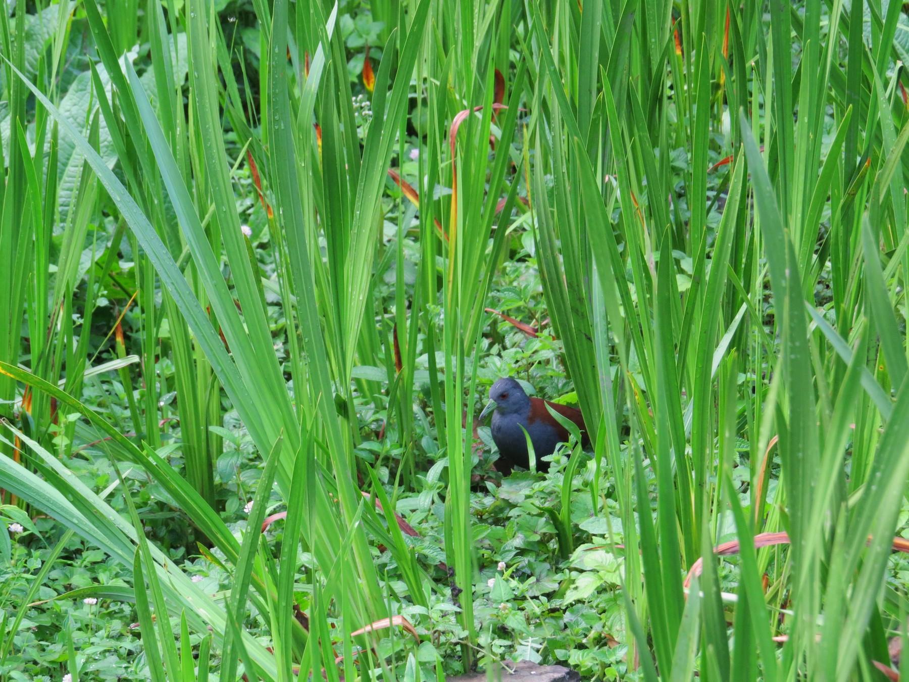 Black-tailed Crake - Sujata Phadke