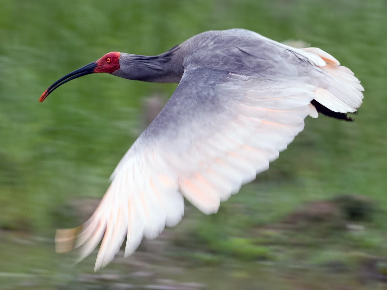 Crested Ibis - Shailesh Pinto