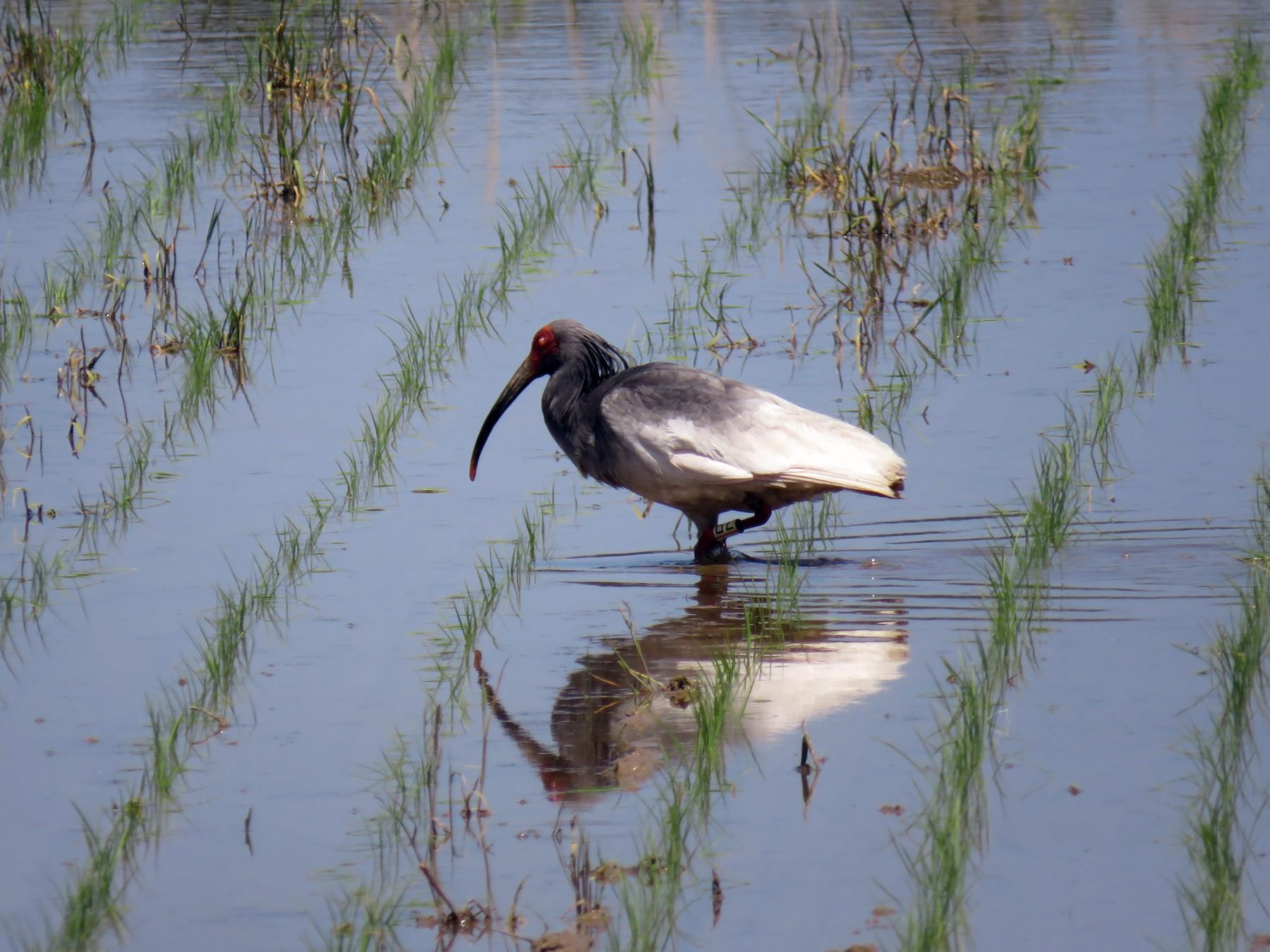 Crested Ibis - Phil Gregory | Sicklebill Safaris | www.birder.travel