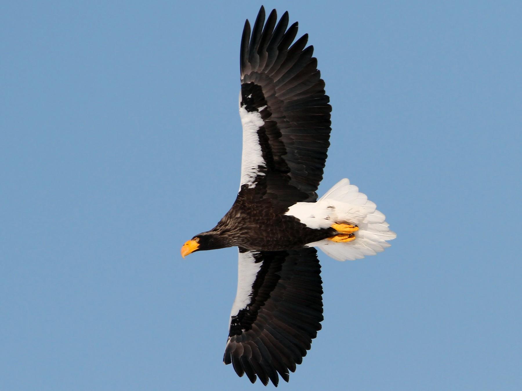 Steller's Sea-Eagle - Christoph Moning